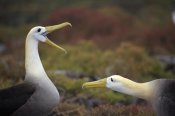 Tui De Roy - Waved Albatross courtship display sequence, Galapagos Islands, Ecuador