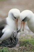 Tui De Roy - Laysan Albatross parents exchanging chick guarding duties, Midway Atoll, Hawaii