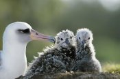 Tui De Roy - Laysan Albatross chick invading from neighboring nest, Midway Atoll, Hawaii