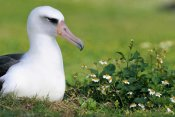 Tui De Roy - Laysan Albatross nesting among introduced weeds, Midway Atoll, Hawaii
