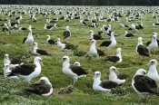 Tui De Roy - Laysan Albatross nesting colony, Midway Atoll, Hawaii