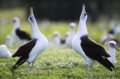 Tui De Roy - Laysan Albatross courtship dance, Midway Atoll, Hawaii