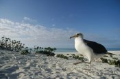 Tui De Roy - Laysan Albatross at colony periphery, Midway Atoll, Hawaii