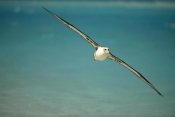 Tui De Roy - Laysan Albatross flying towards breeding grounds, Midway Atoll, Hawaii