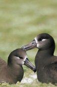 Tui De Roy - Black-footed Albatross pair bonding, Midway Atoll, Hawaii