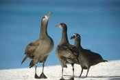 Tui De Roy - Black-footed Albatross gamming group, Midway Atoll, Hawaii