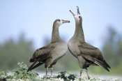 Tui De Roy - Black-footed Albatross courtship dance, Midway Atoll, Hawaii