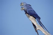 Tui De Roy - Hyacinth Macaw pair in tree, Pantanal, Brazil