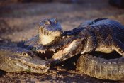 Tui De Roy - Jacare Caiman trio in early evening light, Pantanal, Brazil