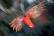 Tui De Roy - Scarlet Macaw flying in rainforest canopy, Peruvian Amazon, Peru