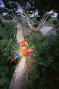 Tui De Roy - Scarlet Macaw pair perched on tree limb, Amazon Basin, Peru