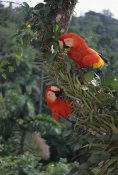 Tui De Roy - Scarlet Macaw pair in rainforest canopy,  Amazon Basin, Peru