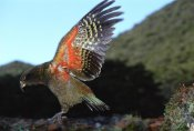 Tui De Roy - Kea showing brilliant coloration under wing, Arthur's Pass NP, New Zealand