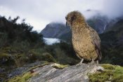 Tui De Roy - Kea perched on rock, Fox Glacier, Westland National Park, New Zealand