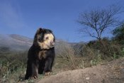 Tui De Roy - Spectacled Bear in dry forest in Andean foothills, Cerro Chaparri, Peru