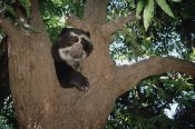 Tui De Roy - Spectacled Bear resting in Andean foothills, Cerro Chaparri, Peru