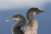 Tui De Roy - Flightless Cormorant pair, Galapagos Islands, Ecuador
