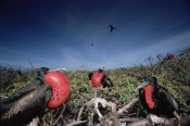 Tui De Roy - Great Frigatebird males in courtship display, Galapagos Islands, Ecuador