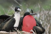 Tui De Roy - Great Frigatebird female eyeing male's courtship display, Galapagos Islands