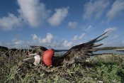 Tui De Roy - Great Frigatebird female inspecting male's courtship display, Galapagos Islands
