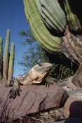 Tui De Roy - Common Chuckwalla basking amid Cardon cactus, Baja California, Mexico