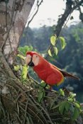 Tui De Roy - Scarlet Macaw living in rainforest canopy, Amazon Basin, Peru