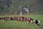 Tui De Roy - Hereford Cattle herd, Matukituki Valley, New Zealand