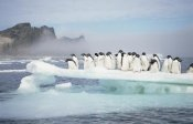 Tui De Roy - Adelie Penguins crowding on melting ice floe, summer, Antarctica