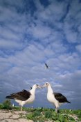 Tui De Roy - Laysan Albatross pair courting, Midway Atoll, Hawaii