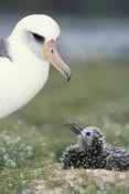 Tui De Roy - Laysan Albatross parent guarding young chick, Midway Atoll, Hawaii