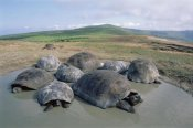 Tui De Roy - Volcan Alcedo Giant Tortoises wallowing, Alcedo Volcano, Galapagos Islands