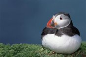 Tui De Roy - Atlantic Puffin showing breeding color, Skomer Island, Wales