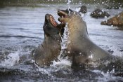 Tui De Roy - Hooker's Sea Lion cow sparring with young bull, Campbell Island, New Zealand