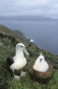 Tui De Roy - White-capped Albatross with chick,  Auckland Islands, New Zealand