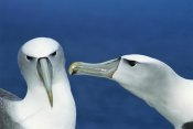 Tui De Roy - White-capped Albatrosses courting,  Auckland Island, New Zealand