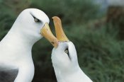 Tui De Roy - Campbell Albatrosses courting, Campbell Island, New Zealand