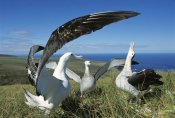 Tui De Roy - Antipodean Albatross courtship display, Auckland Islands, New Zealand