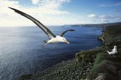 Tui De Roy - Campbell Albatross coming in to land, Campbell Island, New Zealand