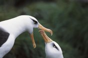 Tui De Roy - Campbell Albatross courtship dance, Campbell Island, New Zealand