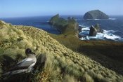 Tui De Roy - Light-mantled Albatross on nesting bluffs, Campbell Island, New Zealand