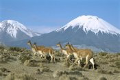 Tui De Roy - Vicuna family in the Andean desert with Parincota Volcano, Lauca NP, Chile