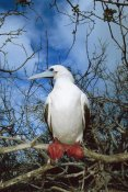 Tui De Roy - Red-footed Booby white morph, Galapagos Islands, Ecuador