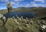 Tui De Roy - Frailejones growing in Paramo Del Angel, northern Andes, Ecuador