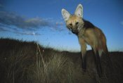 Tui De Roy - Maned Wolf hunting at dusk,  Serra de Canastra National Park, Brazil