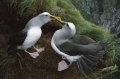 Tui De Roy - Buller's Albatross courtship dance, Snares Islands, New Zealand