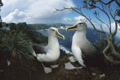 Tui De Roy - Buller's Albatrosses on storm-lashed cliffs, Snares Islands, New Zealand