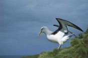 Tui De Roy - Buller's Albatross spreading wings, Snares Islands, New Zealand