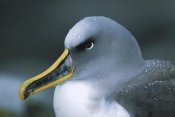 Tui De Roy - Buller's Albatross breeding adult with colorful bill, Snares Islands, New Zealand
