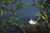 Tui De Roy - Red-footed Booby nesting, Palmyra Atoll NWR, US Line Islands
