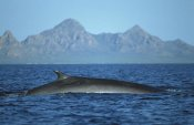 Tui De Roy - Fin Whale at winter feeding grounds, Sea of Cortez, Baja California, Mexico